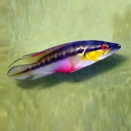 Crenicichla lepidota 6-8cm