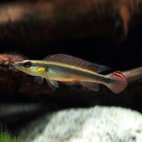 Crenicichla notophtalmus +7cm