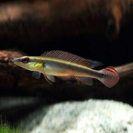 Crenicichla / notophthalmus 6cm
