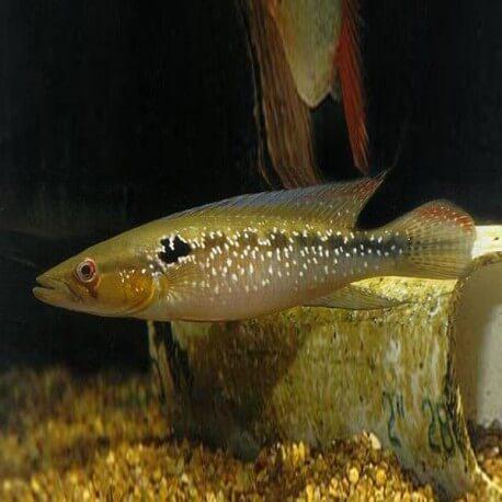 Crenicichla saxatilis WF 5-6cm