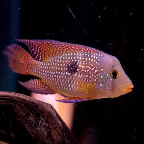 Geophagus brasiliensis sp red +8cm