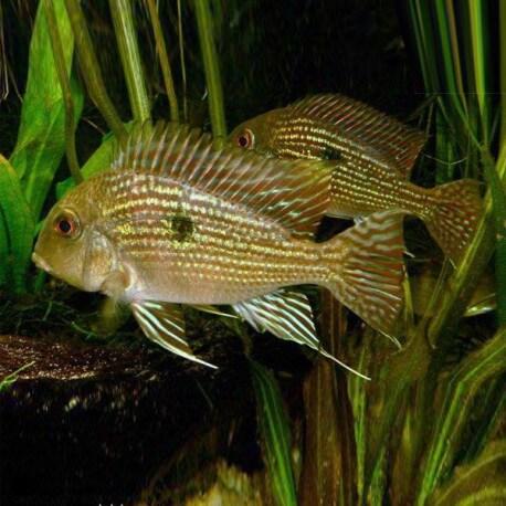 Geophagus sp. pindare 4-5cm