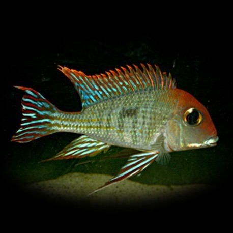 Geophagus sp. red head Tapajos 5-7 cm