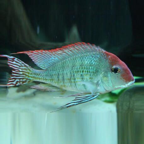 Gymnogeophagus spec. red fin XL
