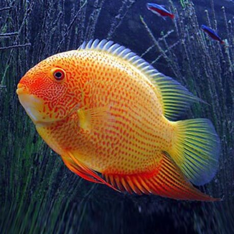 Heros severum red spot 4 - 5 cm