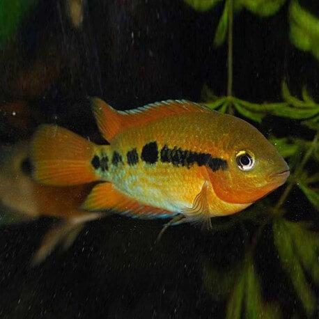 Herotilapia multispinosa 5 - 6 cm