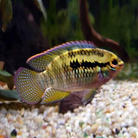 Laetacara Aequidens dorsigerus 3-3,5cm