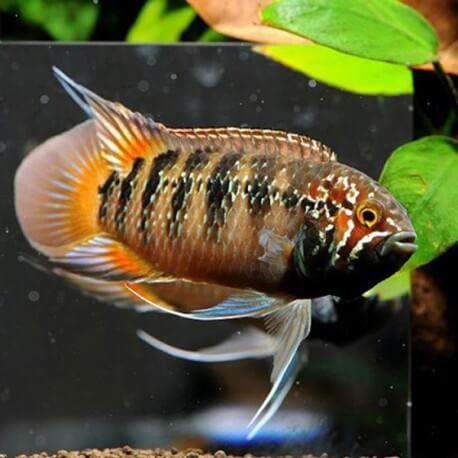 Nannacara adoketa 4-5 cm