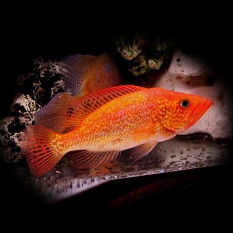Petenia splendida red 6-8cm