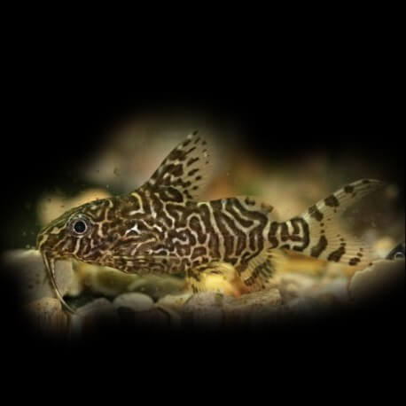 Synodontis eupterus 5 - 6 cm
