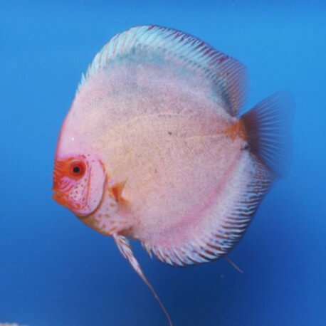 Discus origine Stendker « dark angel » 5cm
