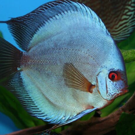 Discus origine Stendker « Solid Fire Red » 8cm