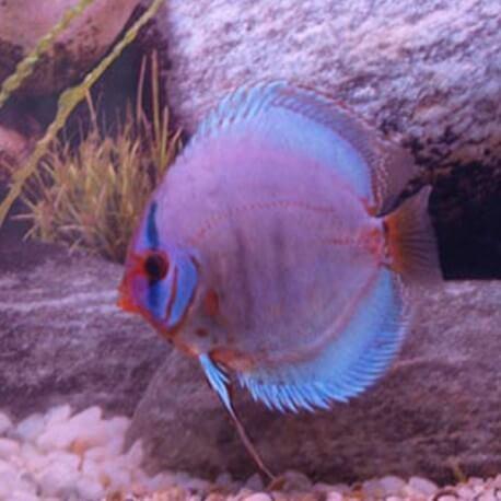 Discus origine Stendker « kobalt » 6,5cm
