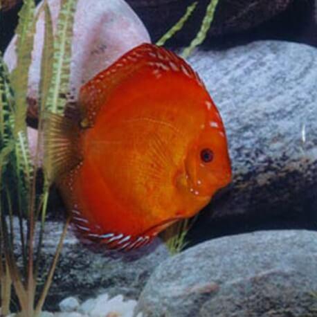 Discus origine Stendker « marlboro red » 14cm