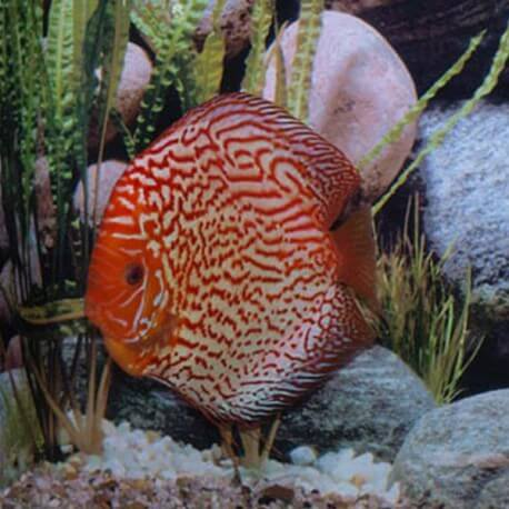 Discus origine Stendker « pigeon blood red » 14cm