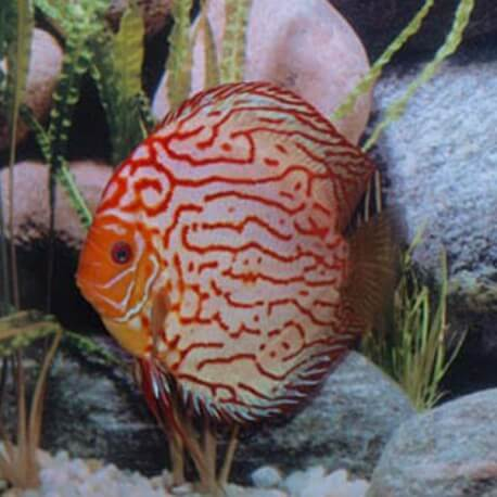 Discus origine Stendker « pigeon blood blue » 10cm