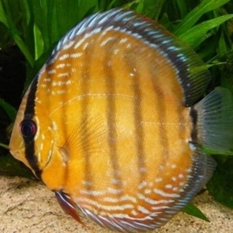 Discus Symphysodon axelrodi 4cm