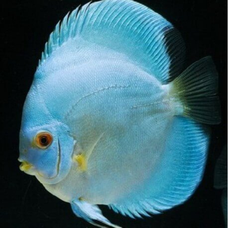 Discus Symphysodon blue diamond selection
