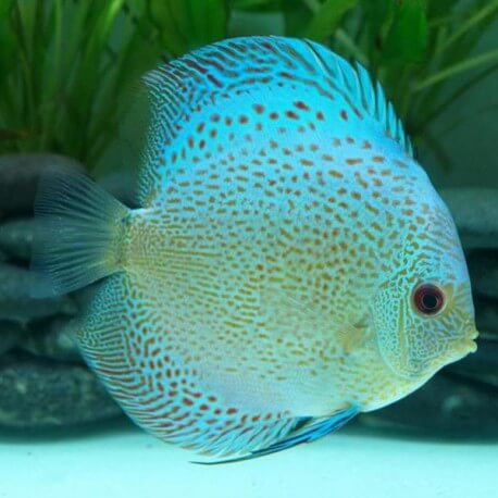 Discus Symphysodon blue scorpion leopard Selection Haute Qualité