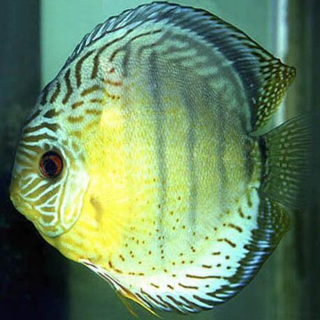 Discus Symphysodon coari green 4cm