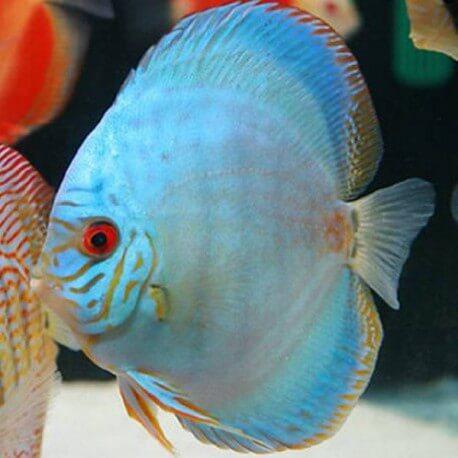 Discus Symphysodon cobalt 4cm