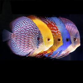 Discus Symphysodon Mix couleur 6-7cm