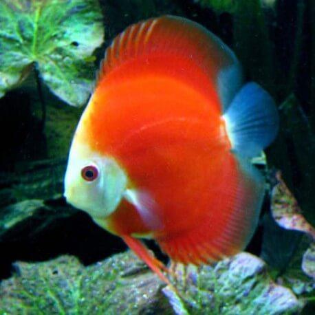 Discus Symphysodon mandarin passion 6,5-7cm