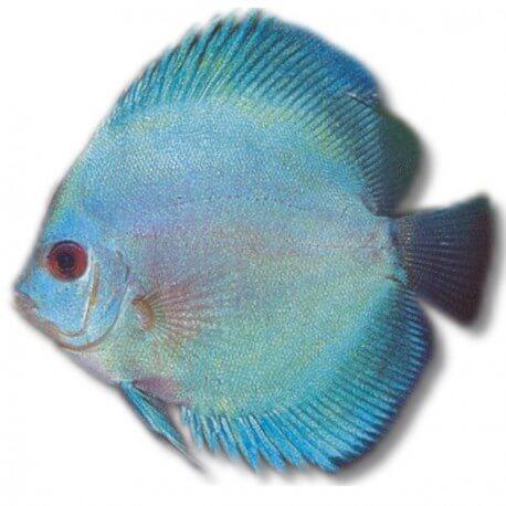 Discus Symphysodon blue mix color grade B 4cm