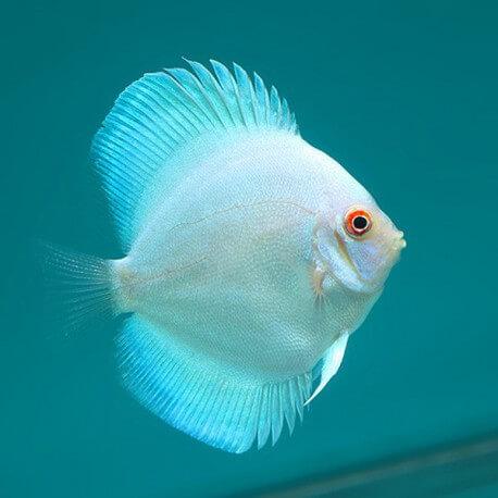 Discus Symphysodon neon blue 15cm