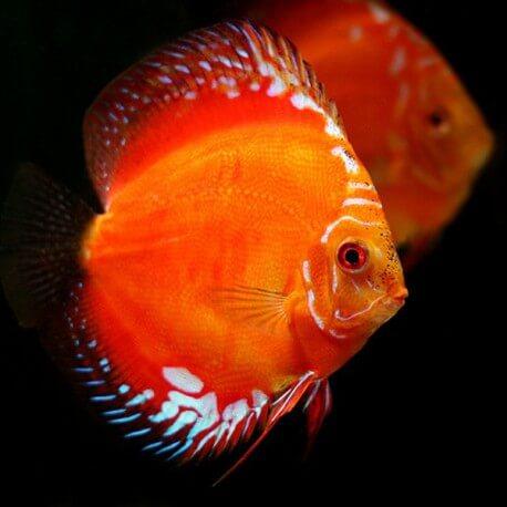 Symphysodon red 5 cm