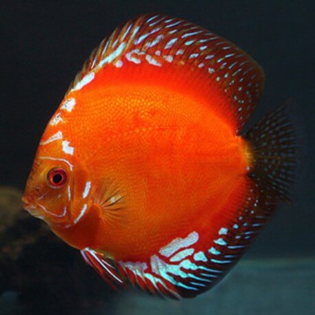 Symphysodon red marlboro 2 cm