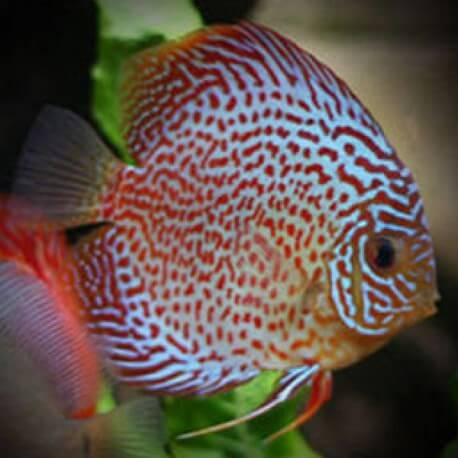 Discus Symphysodon red pearl 14cm