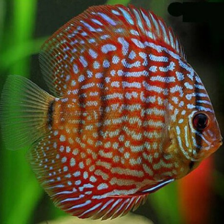 Discus Symphysodon red royal 8cm