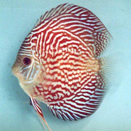 Discus Symphysodon red scribble 6cm