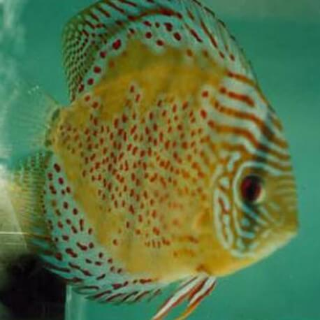 Discus Symphysodon red spotted green 10cm