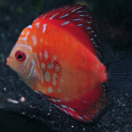 Discus Symphysodon red stone 8cm