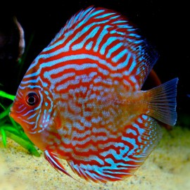 Discus Symphysodon red turquoise 14cm