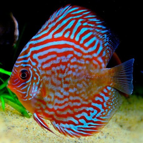Discus Symphysodon red turquoise 15cm