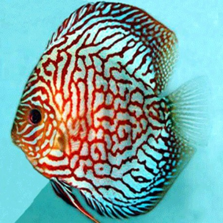 Discus Symphysodon red turquoise high body 10cm