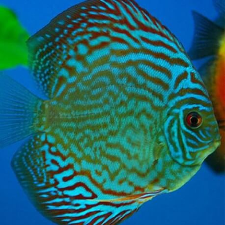 Discus Symphysodon royal blue 15cm