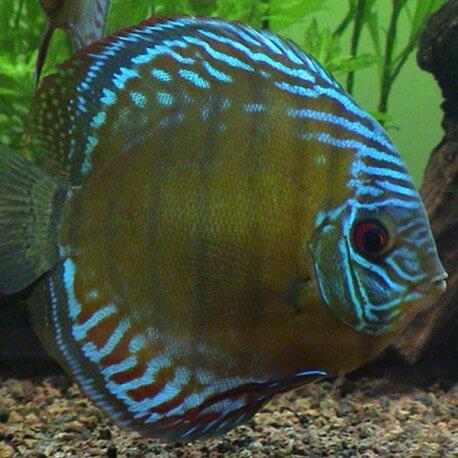 Discus Symphysodon royal blue rio purus 8cm