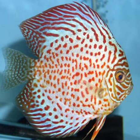 Discus Symphysodon ruby spotted 6cm