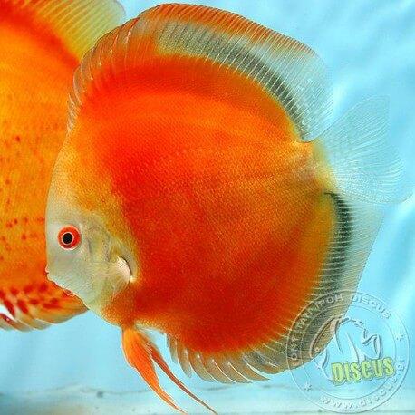Symphysodon San Merah Red 7cm  (9cm)