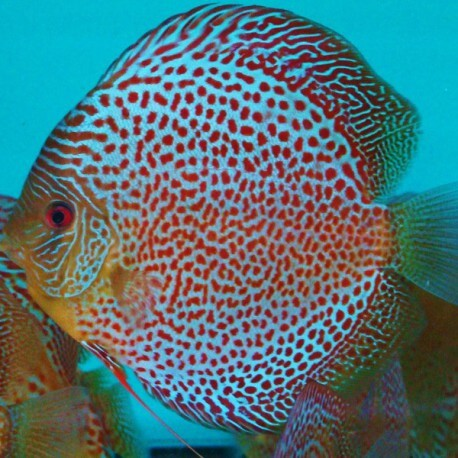 Discus Symphysodon snake skin red spotted 5cm
