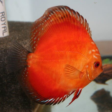 Discus Symphysodon super red marlboro 5cm