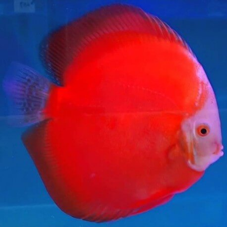 Discus Symphysodon super red melon 13cm