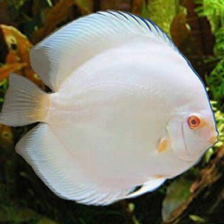 Discus Symphysodon white diamant Sélection Haute Qualité