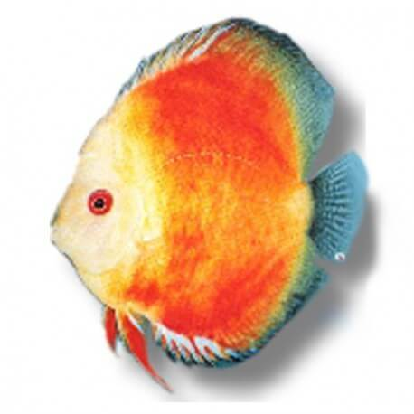 Discus Symphysodon yellow face red marlboro 13cm