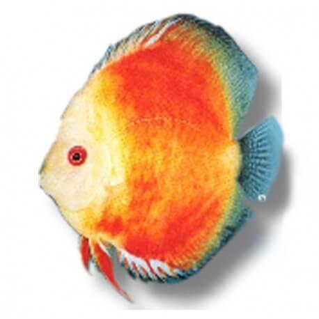 Discus Symphysodon yellow face red marlboro 14cm