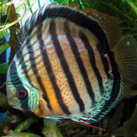 Discus Symphysodon aeguifasciatus red spotted wild 8cm
